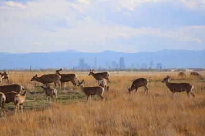 Mule deer at Rocky Mountain Arsenal National Wildlife refuge, near Denver.
