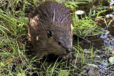 Beavers Desert Future