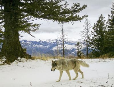 Gray Wolves-Endangered