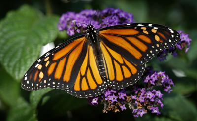 Exchange Missing Monarchs