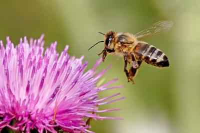 A honeybee lands on a milk thistle flower.