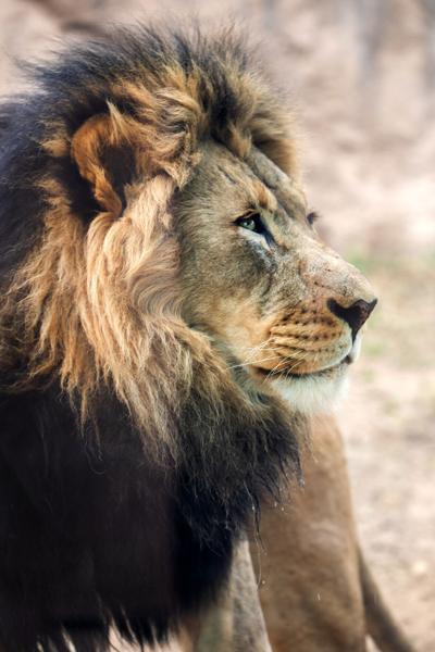 African lion_Abuto_KeriD_04.01.20-4.jpg