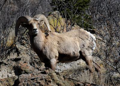 bighorn sheep at Garden of the Gods