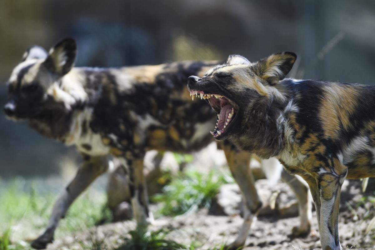 Featured creatures: Pueblo Zoo expands, adds new exhibit