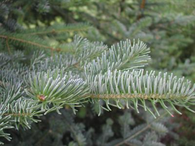 Mt. Hood National Forest Christmas tree permits available