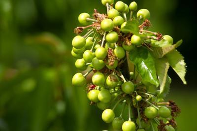 A1-Cherry Harvest_MBG2049.jpg