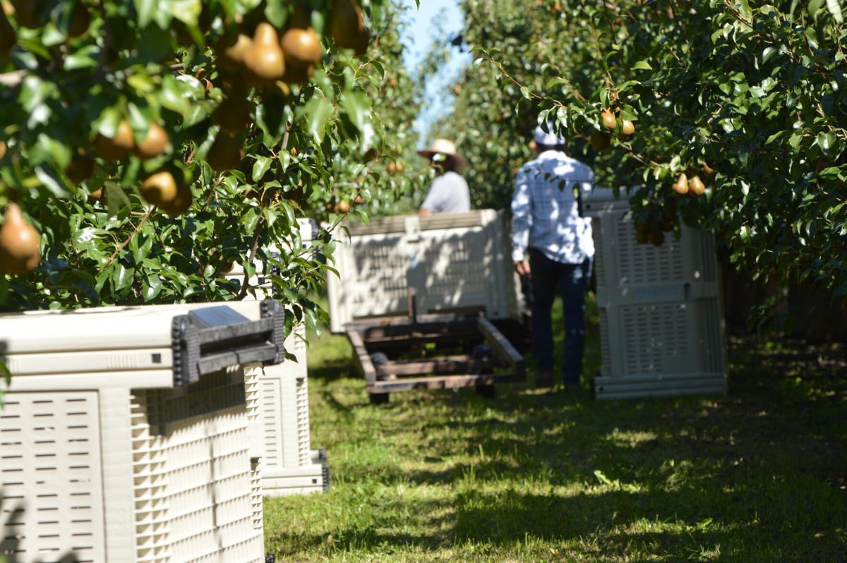 HR fruit harvest 1, pears.JPG