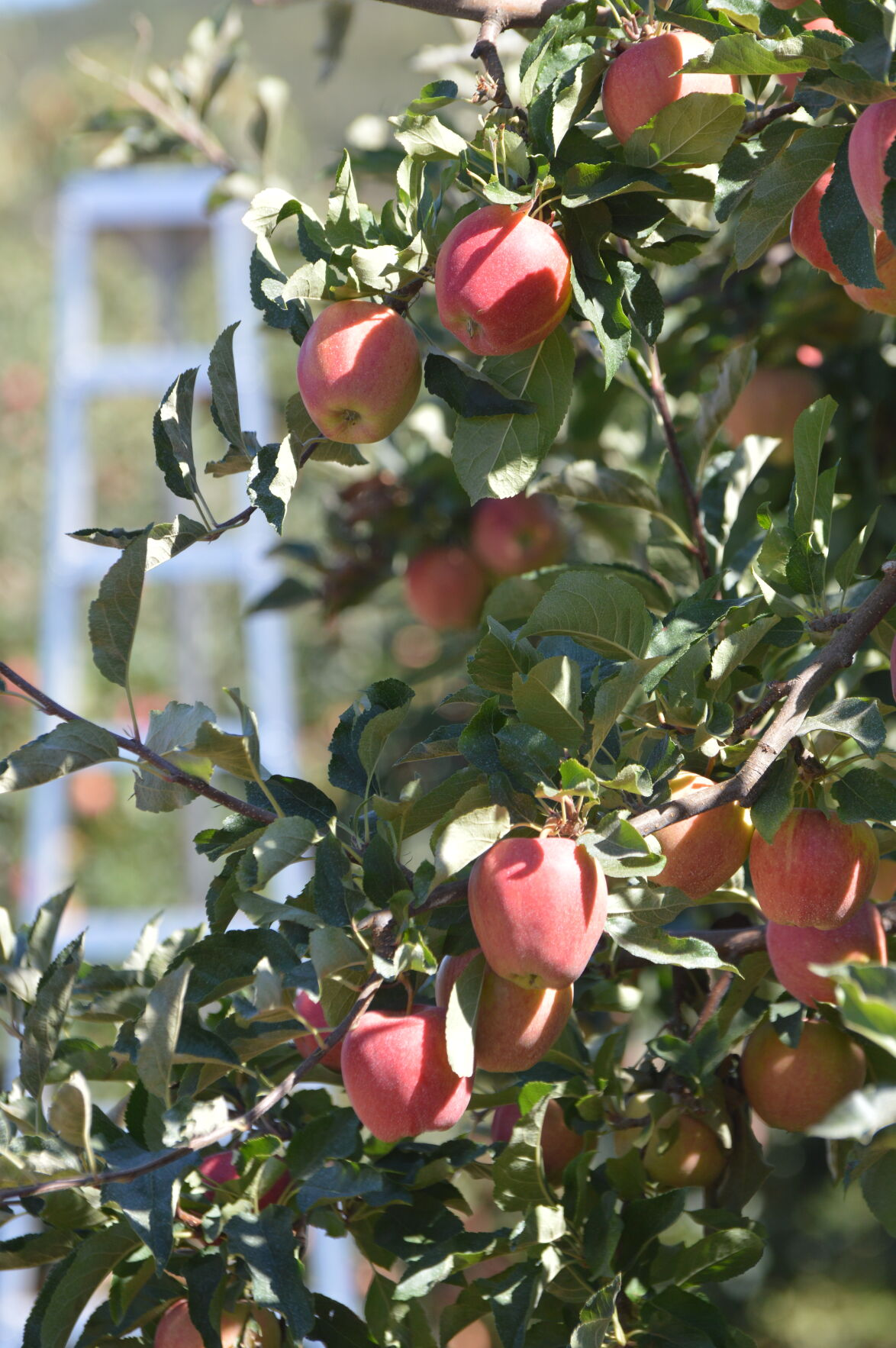 HR fruit harvest 2, applies.JPG