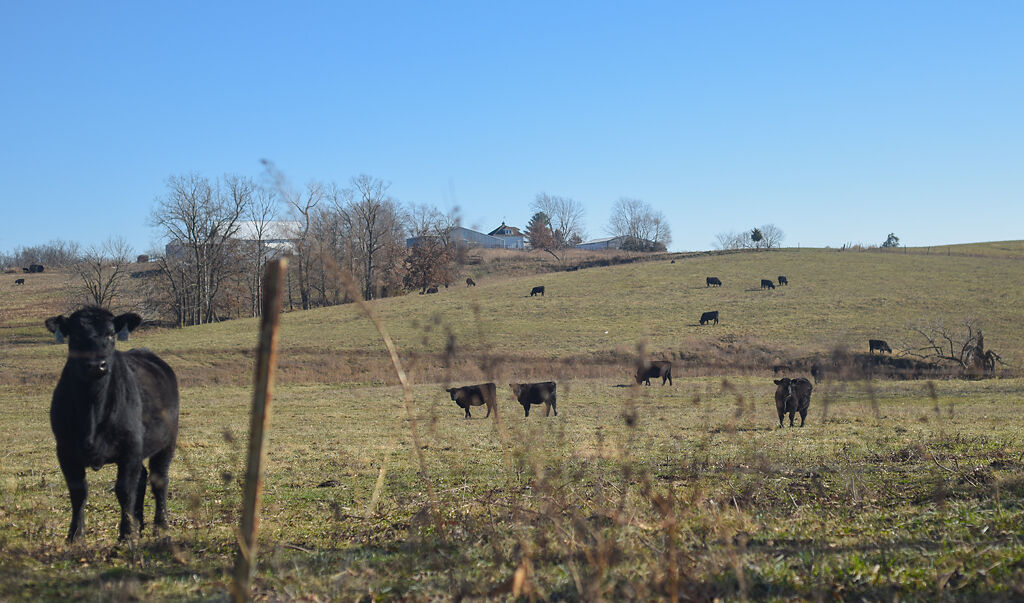 Cows graze on farm land that has been leased out for wind farming