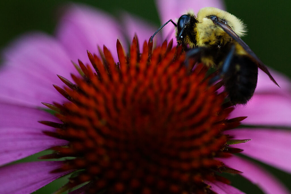 A bee lands on a purple coneflower