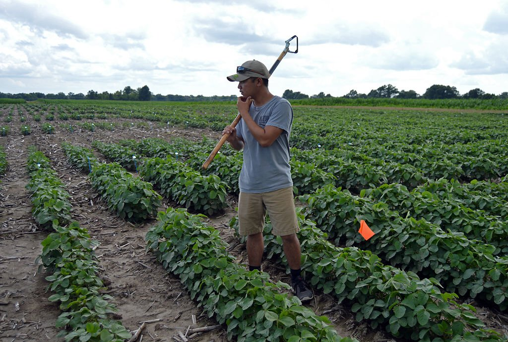 Yia Yang, 22, searches for weeds throughout the soybean field