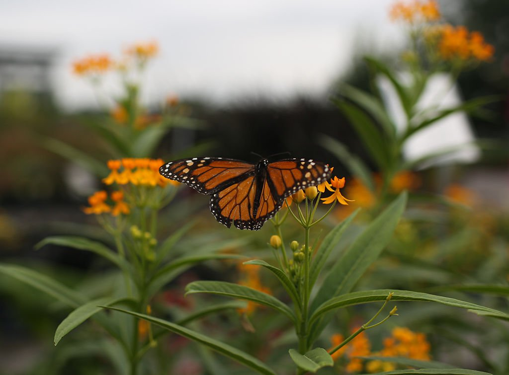 A monarch butterfly lands on a butterfly weed flower at Helms Garden