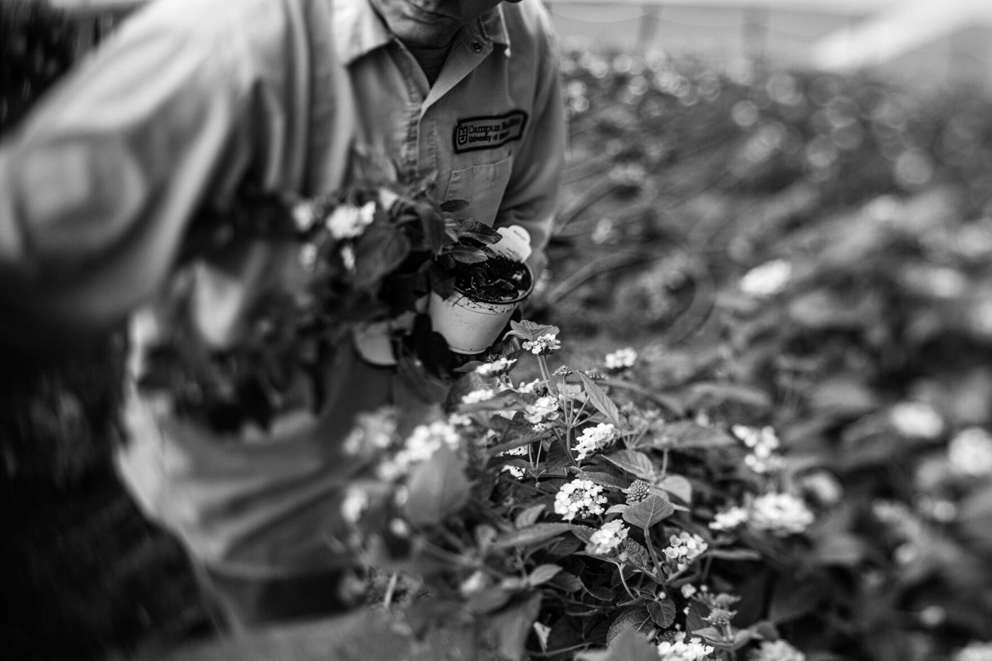 Andy Williams, groundskeeper at the University of Missouri, plants lantana