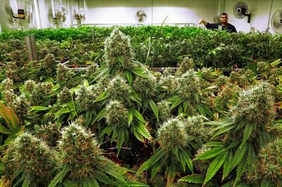 Marijuana plants nearly ready for harvest