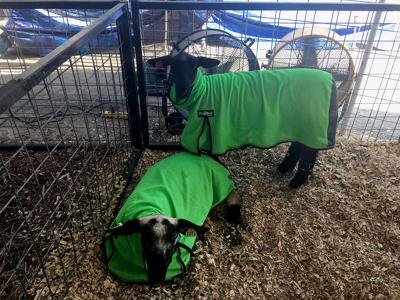Two goats are covered in ProCool wraps and have fans blowing to keep them cool