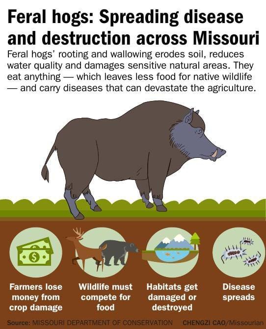 Feral hogs: Spreading disease and destruction across Missouri