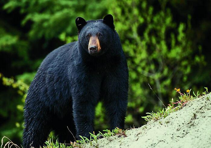 Black bear photographed in Missouri