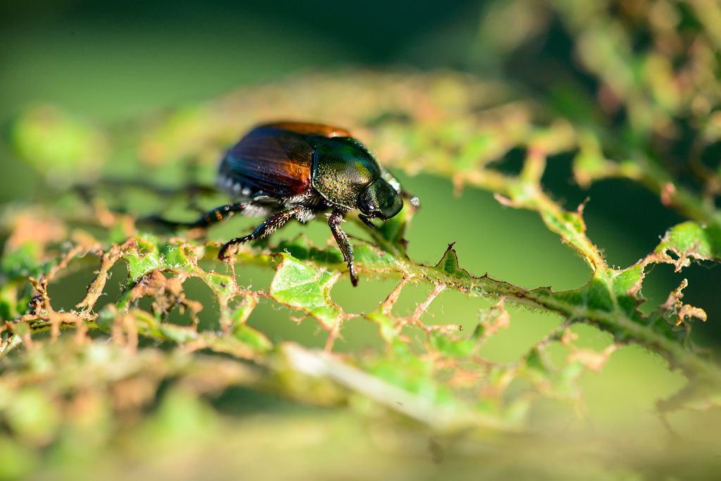 A Japanese beetle walks along a skeletonized leaf (copy)