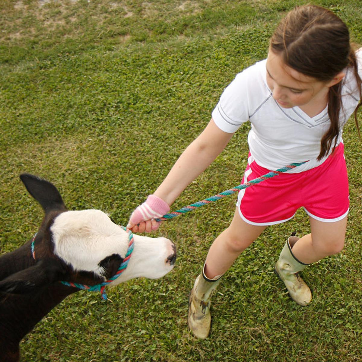 4-H Bucket Calf Project combats family farm decline   News