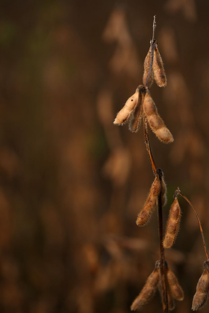 Soybeans at Shryocks Callaway Farm