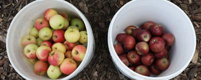 How do you like them apples? Farm roots at Hickory Ridge Orchard run deep
