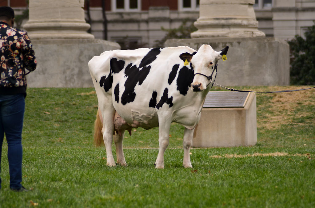 A dairy cow is brought to the MU campus for senior photos