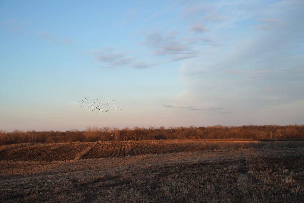 A flock of birds fly across the sky