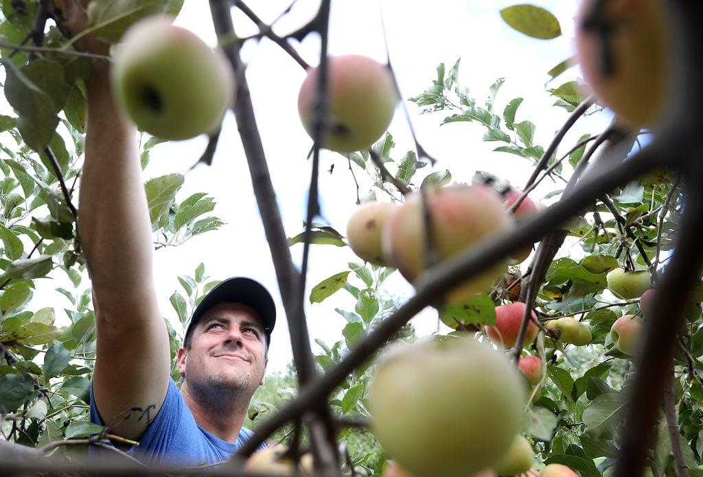 Brandt Schisler picks apples at his new Hickory Ridge Orchard farm