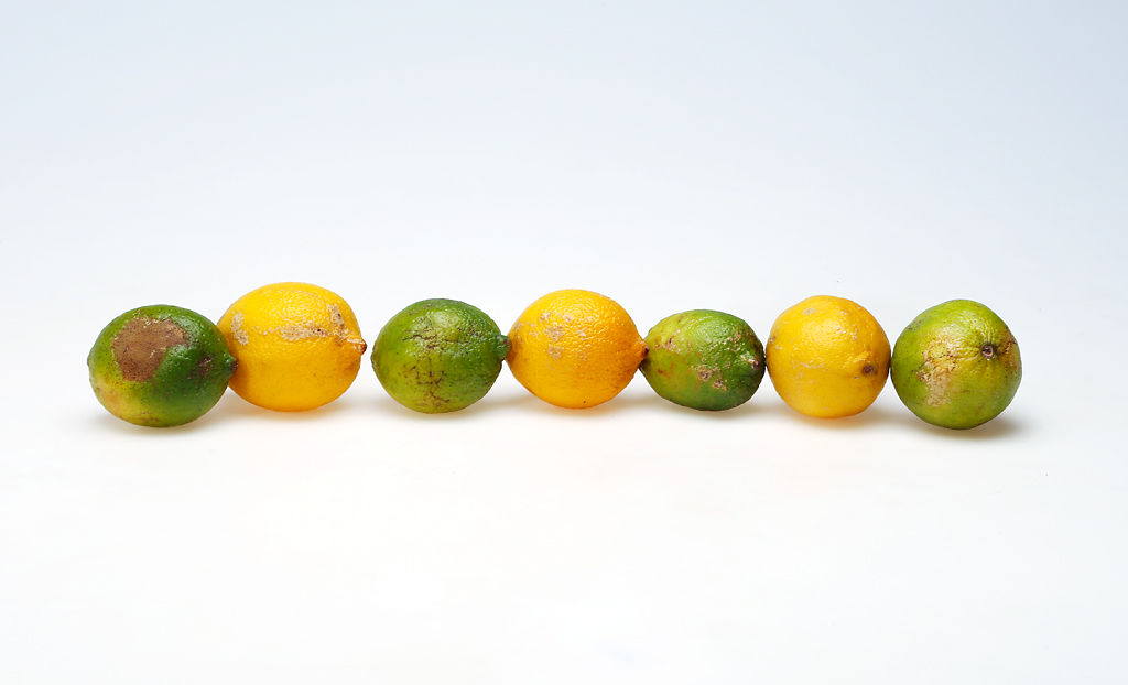 A row of lemons and limes sits in a studio