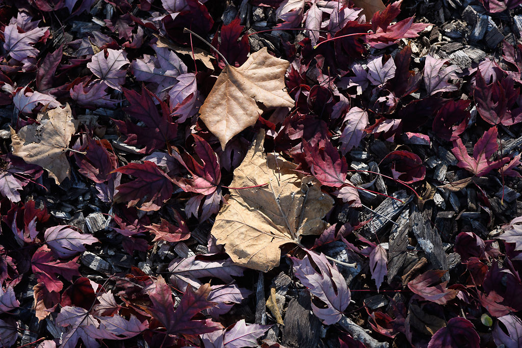 Fallen red leaves layer the ground