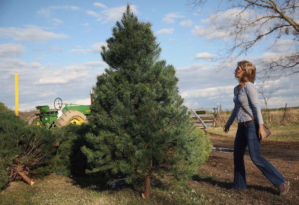 Dana Jacobson sizes a tree