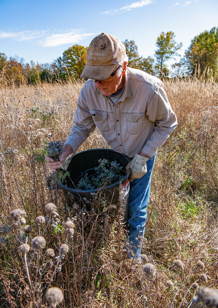 Mervin Wallace collects hairy mountain mint seeds by hand