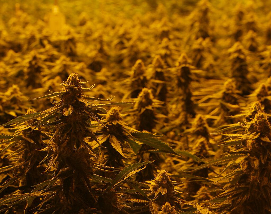 Marijuana plants grow in the flowering room of BeLeaf