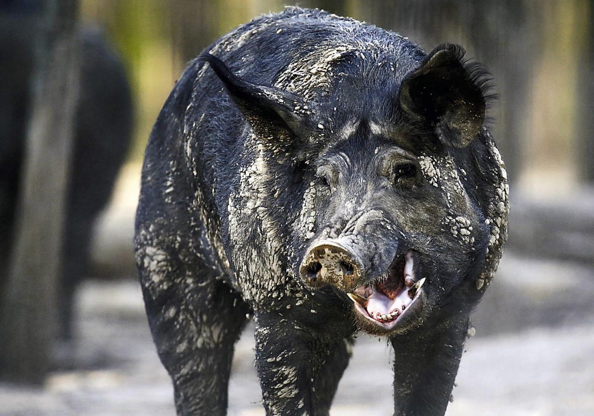 A feral hog walks through the woods
