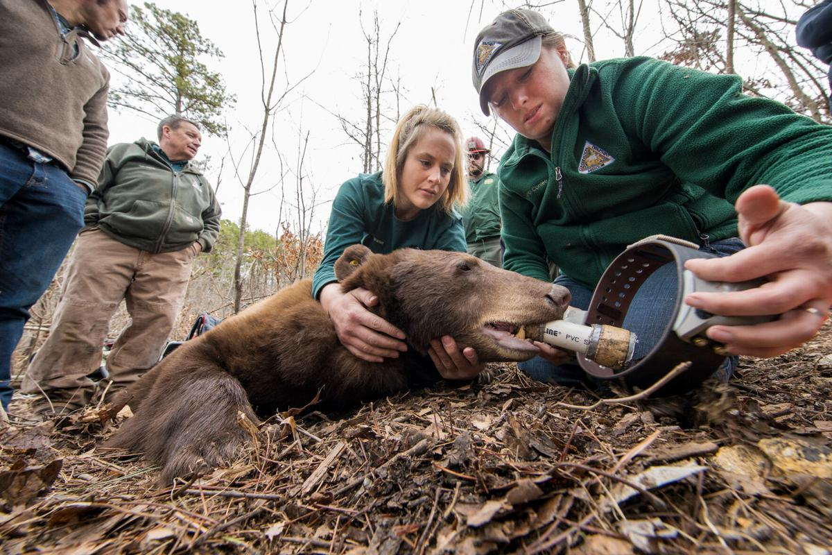 Staff fit a female black bear with a collar