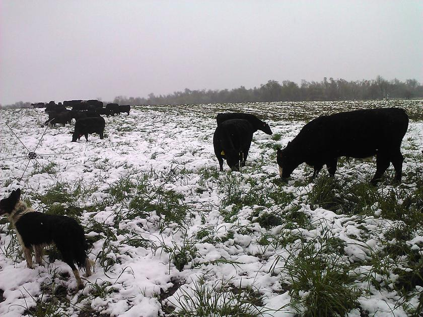 Grazing management schools improve beef, grass and water quality in Missouri - Columbia Missourian