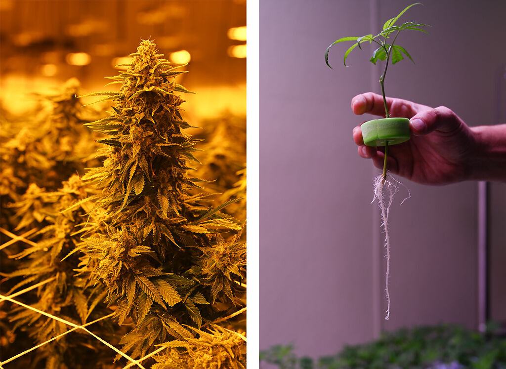 columbiamissourian.com - Drew Hofbauer - Cultivating a cannabis crop: Missouri grow site gets ready to harvest medical marijuana