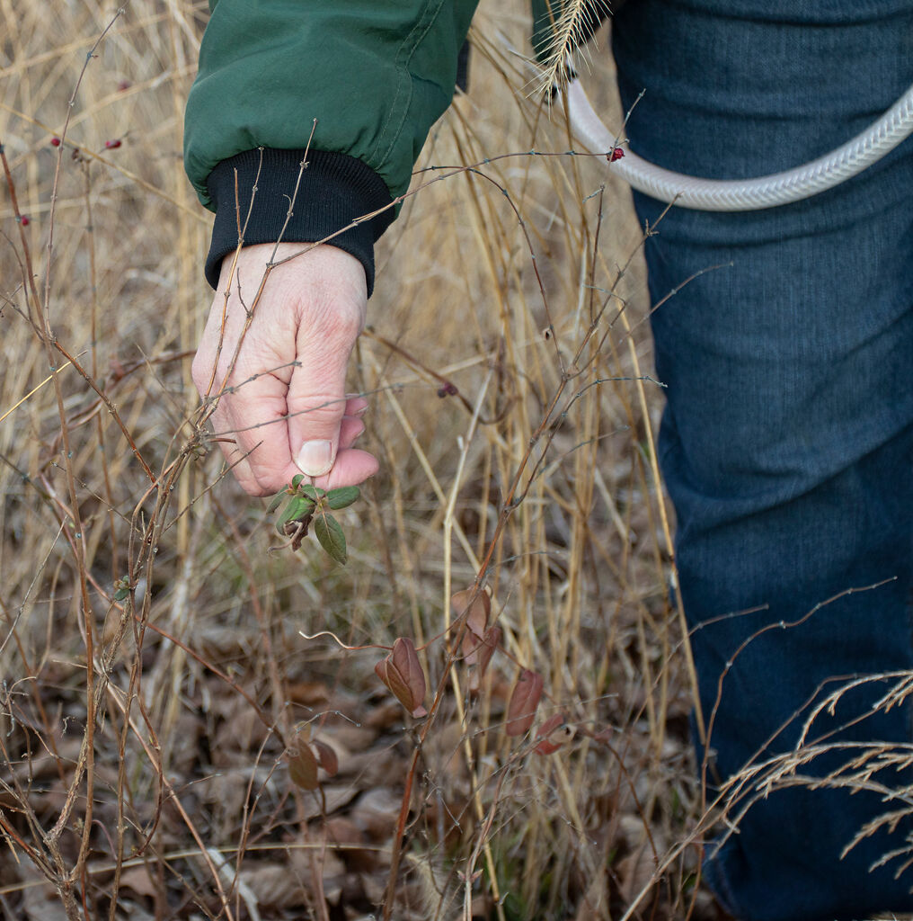 Roxie Campbell identifies winter creeper