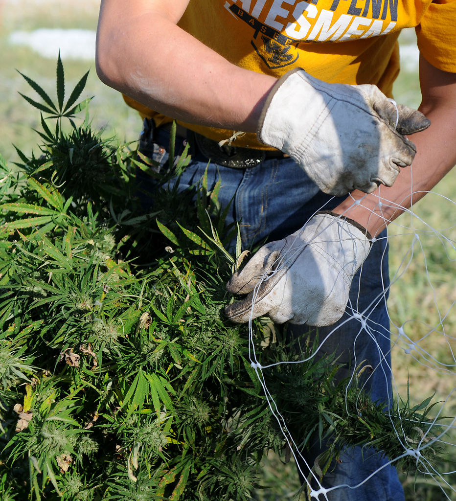 Bo Payne untangles a hemp plant from plastic fencing on Monday