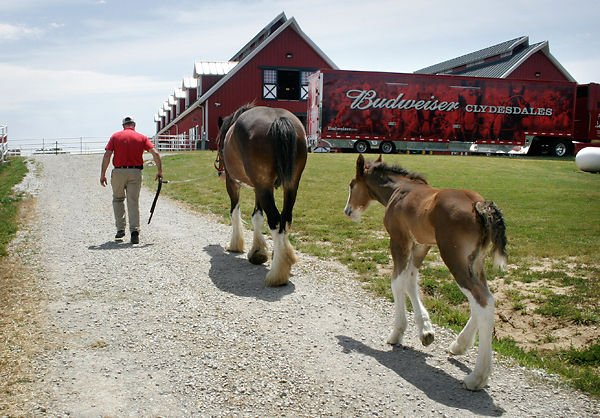 Perfection An Anheuser Busch Clydesdale Stud Passes On