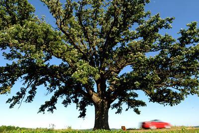 Arborists work to preserve McBaine bur oak tree