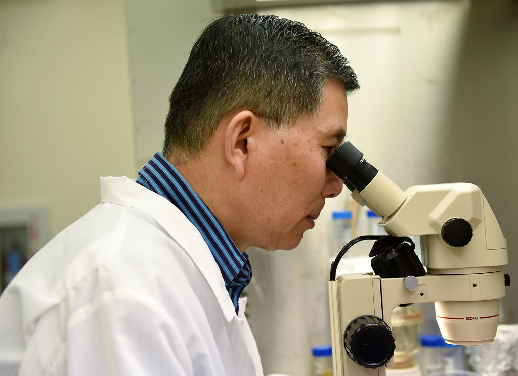 MU Research Professor Zhanyuan Zhang looks at grain sorghum cultures through a microscope