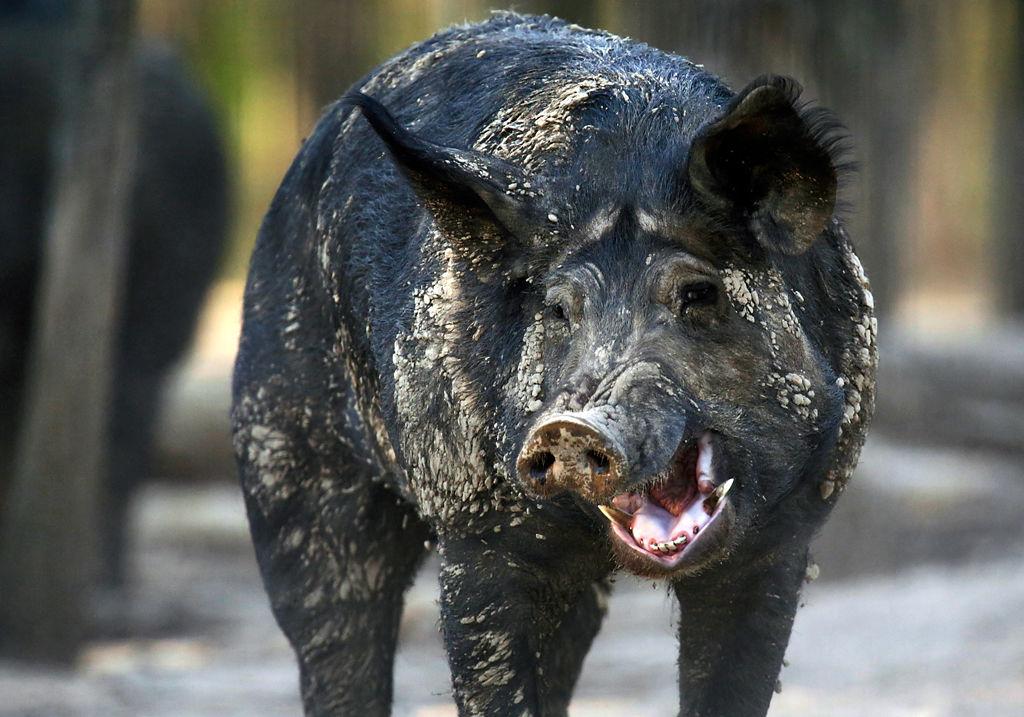 a male hog yawns