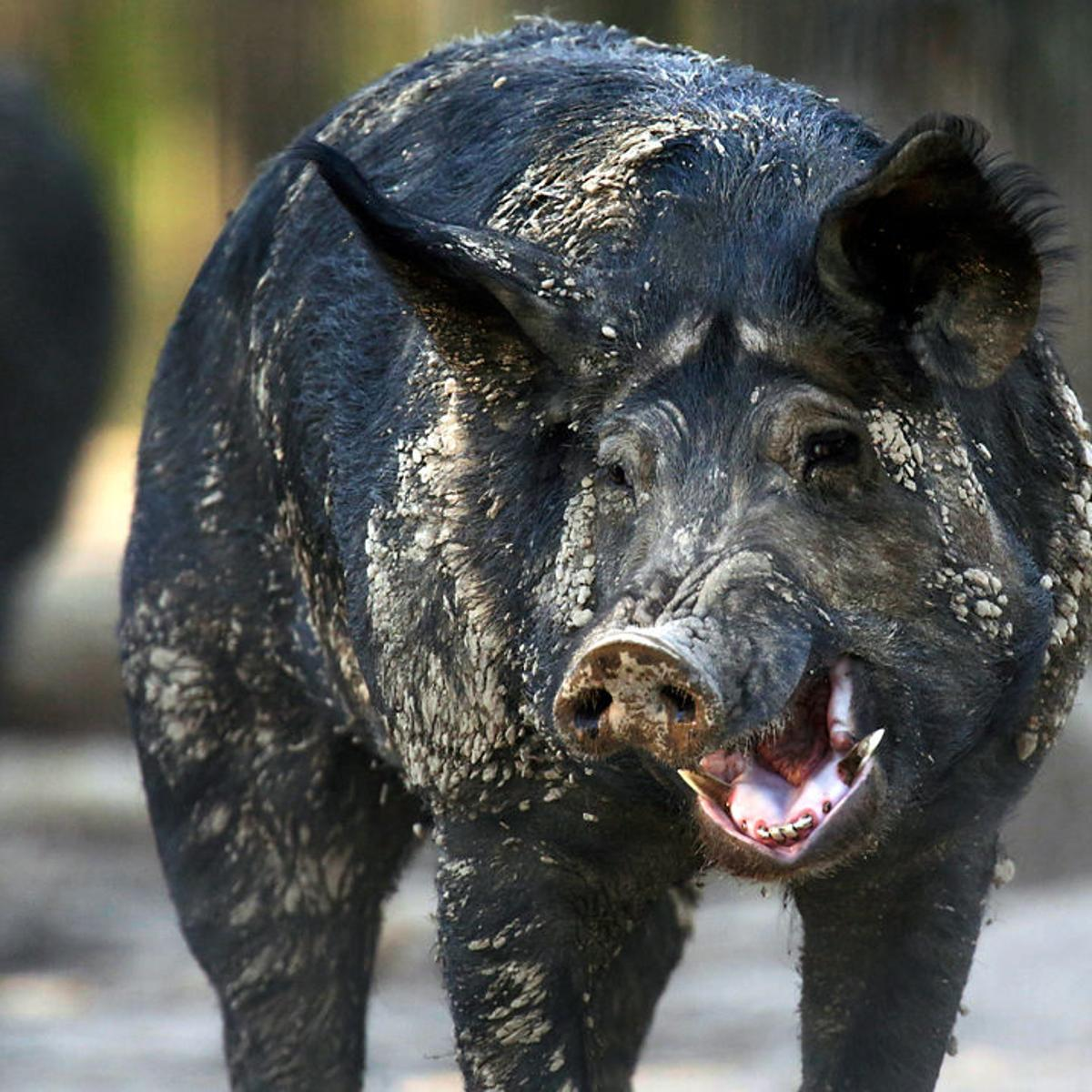 Missouri steps up trapping and killing of feral hogs | News ...