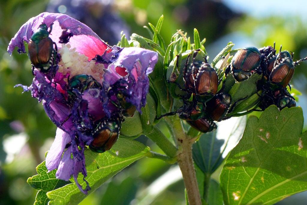 Aggressive Techniques Can Help Combat Invasive Japanese Beetles