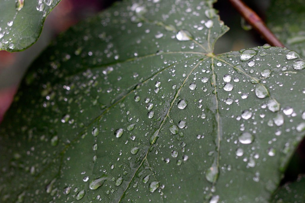 Water droplets cover a leaf