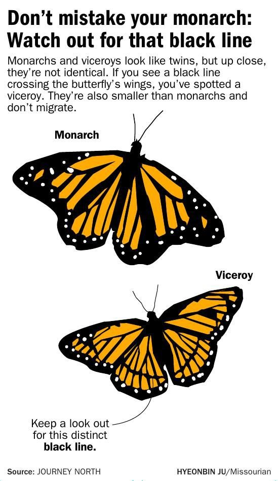 Don't mistake your monarch: Watch out for that black line