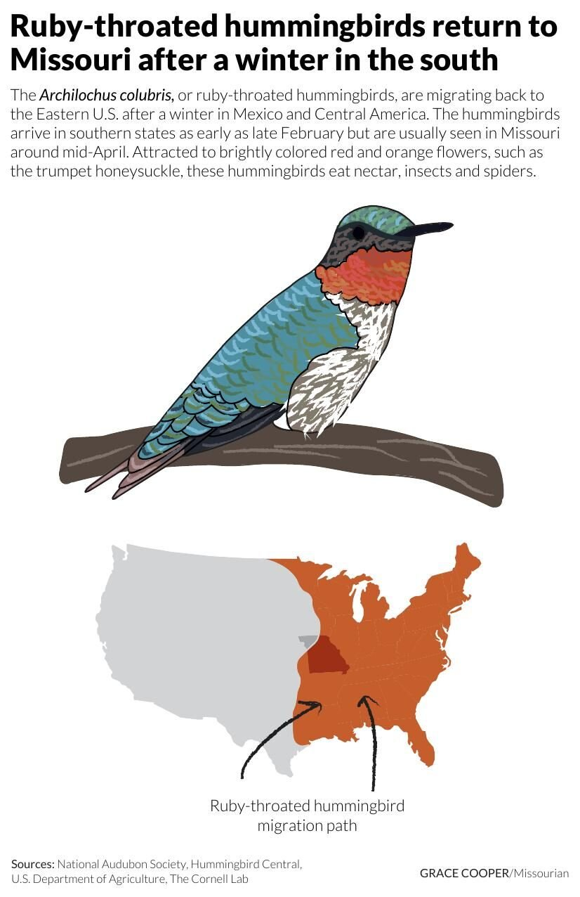 Ruby-throated hummingbirds return to Missouri after a winter in the south