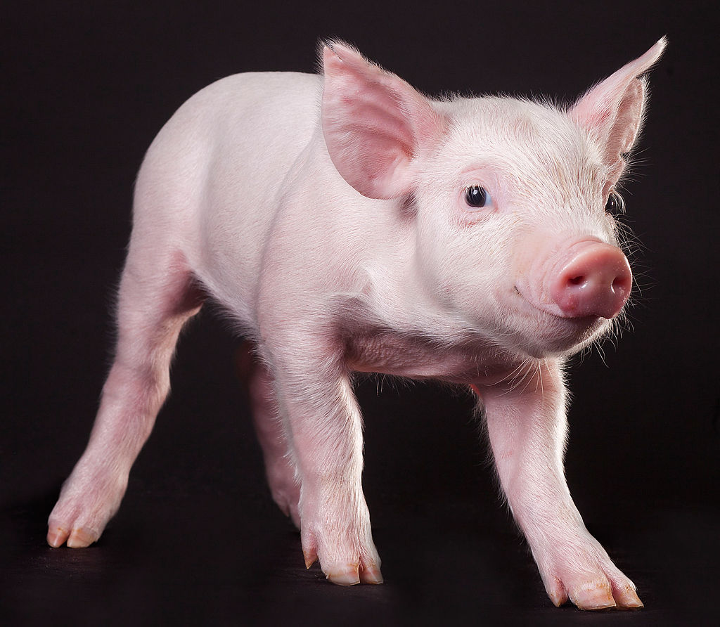 Pigs are bred for research