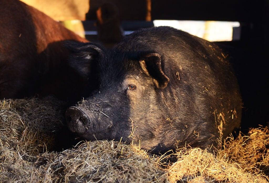 Jeffery lays in the hay